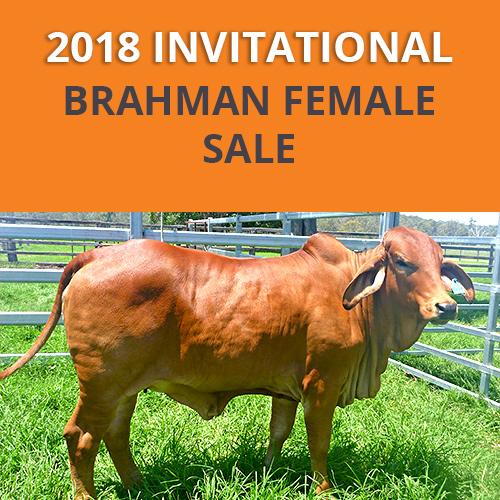 GREAT SOUTHERN BRAHMAN FEMALE SALE 2018